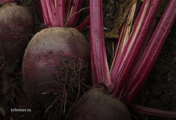 как сажать свеклу в открытый грунт семенами